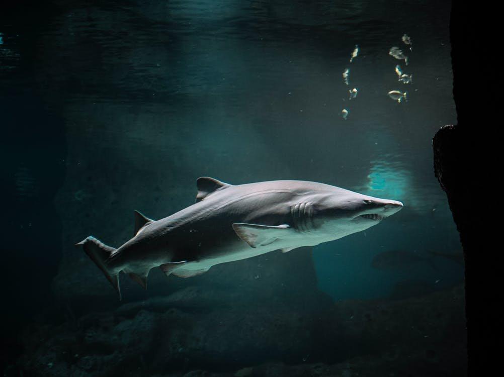 Ради создания вакцины от коронавируса убьют полмиллиона акул